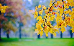 A branch of colored Fall leaves in focus
